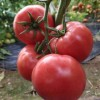蒙城抗冻西红柿苗 黄山越冬种西红柿苗品种