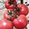黟县粉西红柿苗 歙县越冬耐寒西红柿苗品种