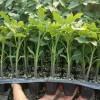 凤阳大红西红柿苗 滁州秋冬茬耐寒番茄苗品种
