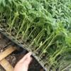 全椒冬春茬西红柿苗 定远抗病西红柿苗品种