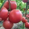 天长耐寒西红柿苗 来安硬粉西红柿育苗厂