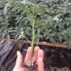 铜陵冬季西红柿苗品种 濉溪耐寒西红柿苗出售
